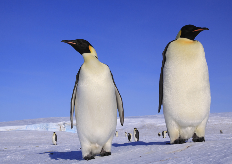 Pinguine - Bestien im Frack | Miesepeters.de