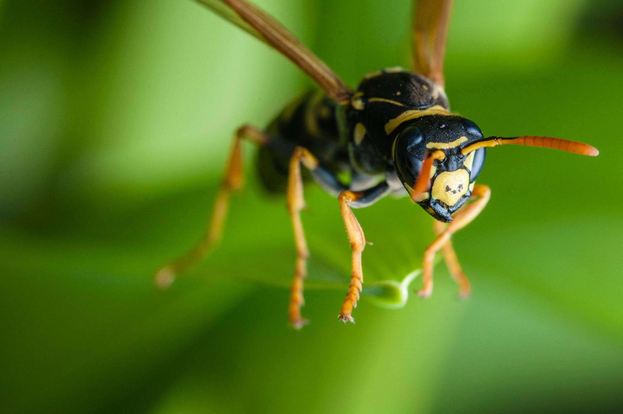Wespenplage: Endlich mehr saufen und rauchen